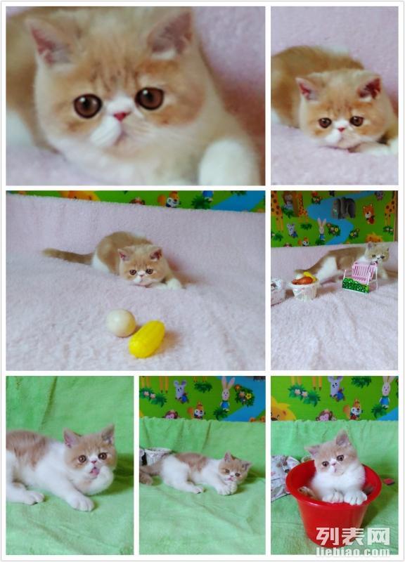 猫舍出售加菲布偶英短