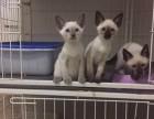 纯种 赛级 暹罗猫 北京实体猫舍 专业繁殖 多窝可选