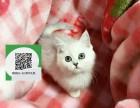 天津哪里有蓝猫出售 天津蓝猫价格 天津宠物猫转让出售