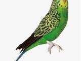 重庆城口本地出售观赏鸟健康保障