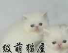 出售超可爱优秀精品波斯猫猫咪 品相完美 会用猫砂哦