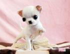 cku注册五星级犬舍 双血统吉娃娃可上门挑选