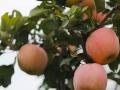 陕西有机红富士苹果正式上市了!