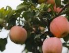 陕西有机红富士苹果正式上市了