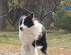 出售高品质边境牧羊犬