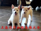 上海闵行柴犬犬舍直销 白柴黄柴多窝选择 疫苗齐全
