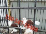 徐州哪里有肉鸽养殖场肉鸽市场价格