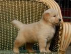 拒绝星期狗 专业繁殖金毛犬可货到付款 可基地挑选