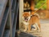 杭州那里有柴犬卖 杭州柴犬价格 杭州柴犬多少钱