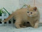 英国短毛猫乳色弟弟公猫北京玉笛名猫家养