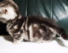 曼基康矮脚猫/短脚猫 标斑弟弟 15000