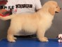 顶级赛级封神血系金毛宝宝 赛级品质完美体型居家首选金毛犬