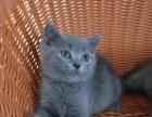 纯种蓝猫英短出售
