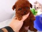泰迪犬专业繁殖 可基地挑选 签协议包健康 送用品