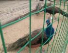 孔雀养殖孔雀苗鸵鸟苗的价格黑天鹅矮马羊驼出售