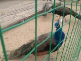 孔雀苗鸵鸟苗多少钱黑天鹅矮马羊驼的价格
