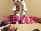 美短虎斑加白短毛猫