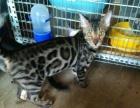 纯种孟加拉豹猫5个月零5天