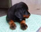 纯种护卫犬罗威纳幼犬 凶猛忠诚健康保障3月