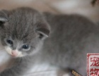 英国蓝猫英国短毛猫英国纯种头大蓝猫
