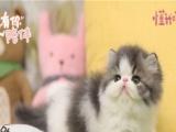 小米猫苑 纯种加菲猫 十年猫舍 疫苗齐全