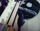 自家宠物蓝猫,活泼粘人