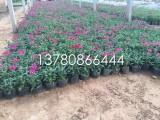 草花美女樱种植基地