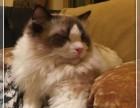 北京注册猫舍专业品质缔造优质布偶幼猫签定质保可刷卡