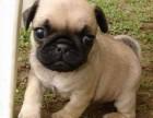 可货到付款 可基地挑选 专业繁殖巴哥犬签协议包