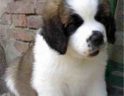 圣伯纳幼犬繁殖基地 多只精品宝宝可选