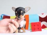 信誉第一 品质第一 精品吉娃娃幼犬 健康质保 十佳犬舍