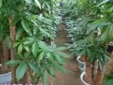 廣州綠蘿批發訂發財樹金錢樹開業植物 送貨快服務好