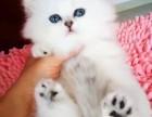 双血统证书 自家精心侍养,无病 极好品相金吉拉幼猫
