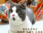 上海英短蓝猫 渐层 蓝白 美短虎斑 起司 折耳(包纯种健康)