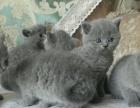 自家养的英国短毛猫蓝猫,品相有保证