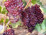 安徽葡萄苗种植基地 供应品种好的葡萄苗