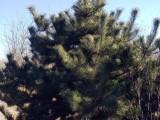 北京顺义 出售绿化树苗 银杏 油松 国槐 多种规格,量大优惠