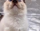 海豹手套弟弟布偶猫