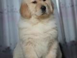 重庆哪里出售金毛犬 重庆家宠物店信誉好