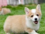萌宠柯基犬出售疫苗齐全保健康签订协议随时上门