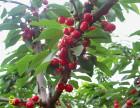 商丘园丁园大樱桃欢迎大家采摘 吉塞拉矮化大樱桃苗