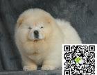 株洲松狮犬出售株洲松狮犬多少钱株洲松狮价格哪里能买到纯正松狮