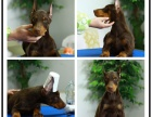 纯种杜宾犬多少钱一只 杜宾图片本地哪里有狗场