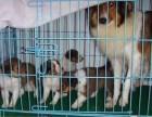 兰州哪有喜乐蒂犬卖 兰州喜乐蒂犬价格 兰州喜乐蒂犬多少钱