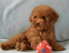 精品小玩具泰迪,毛量大,娃娃脸,颜色深红品相好