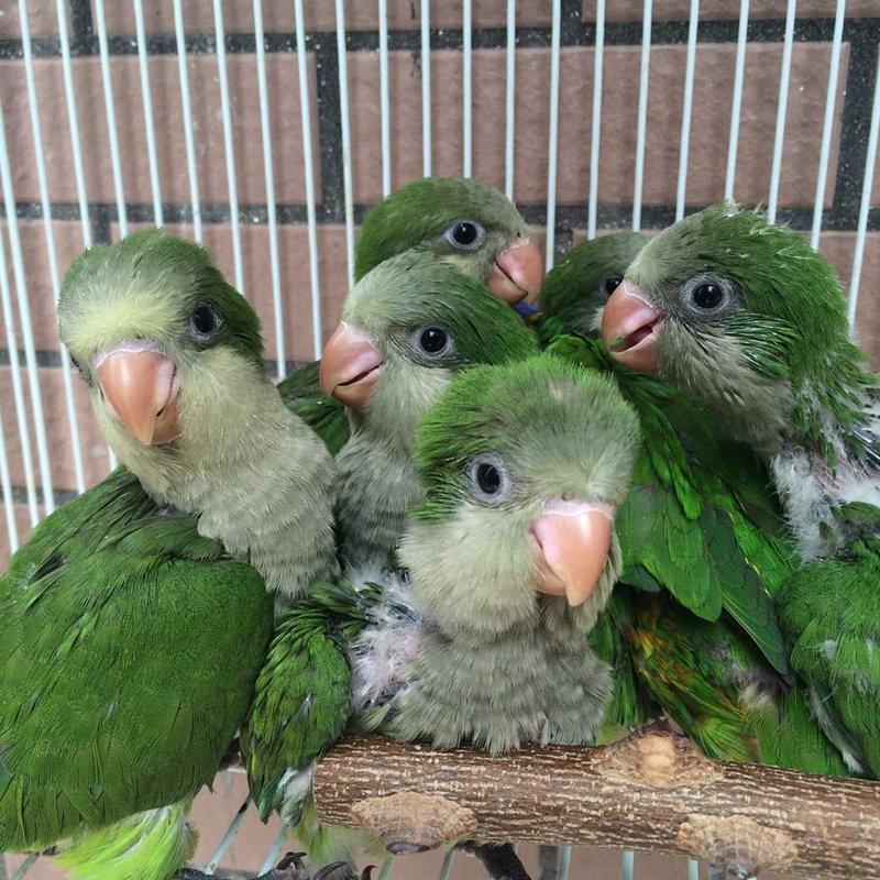 转让手养的大体蓝和尚 绿和尚鹦鹉幼鸟 乖巧亲人