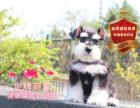 柴犬纯正健康出售-幼犬出售,当地可以上门挑选