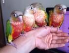 小太阳�鹦鹉金刚鹦鹉灰鹦鹉亚历山大鹦鹉吸蜜葵花鹦鹉亚马逊