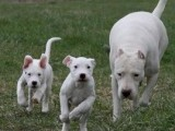 老a犬舍 精品杜高出售 度高幼犬 3个月 疫苗全齐