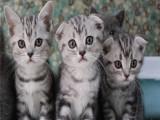 自家猫舍繁育折耳猫 包纯种 包健康